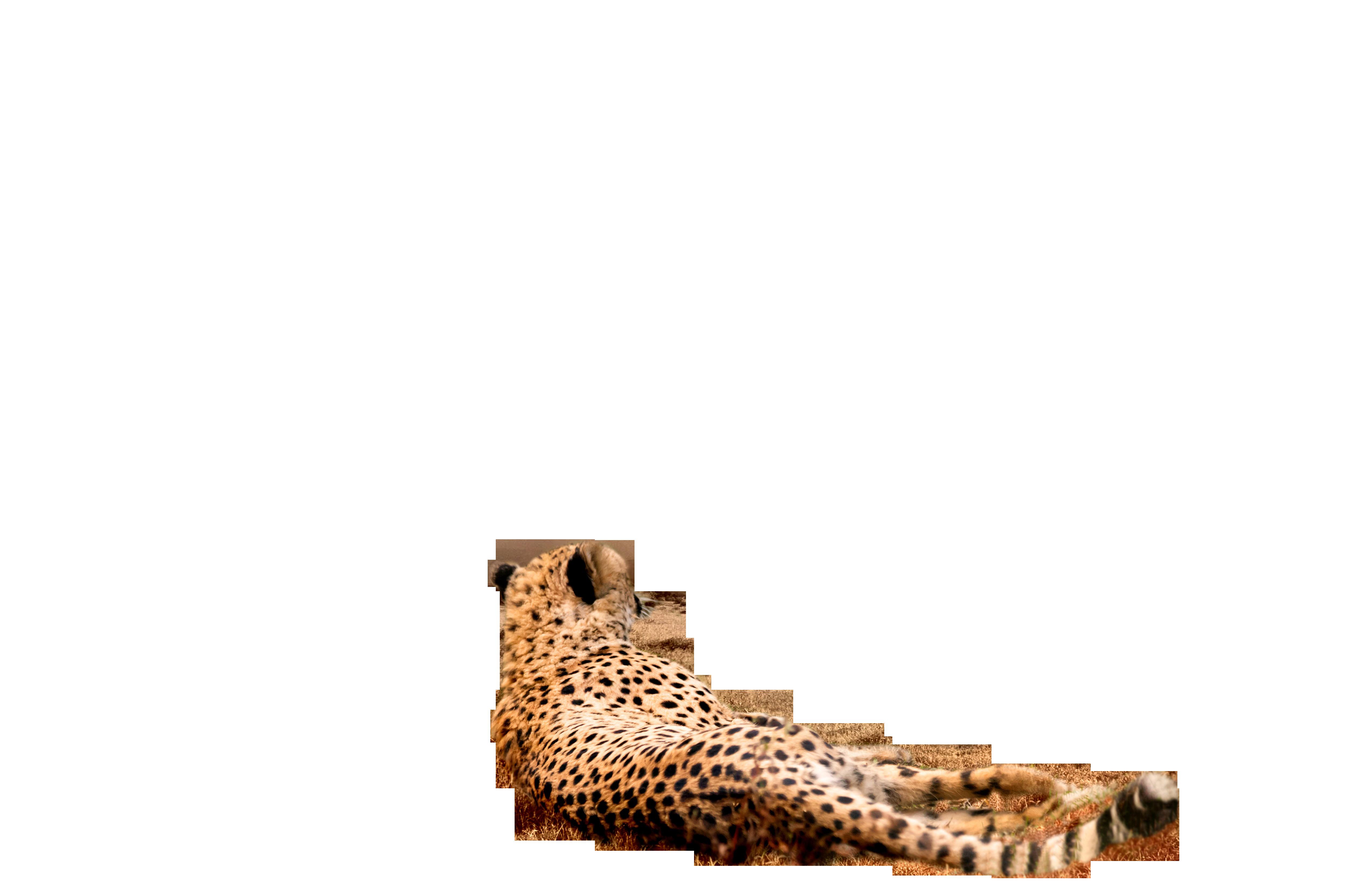 cheetah-1123143_Clip