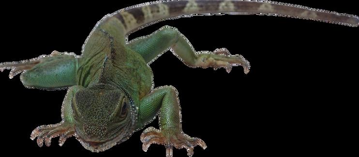 Lizard PNGs