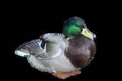 duck-789040_Clip