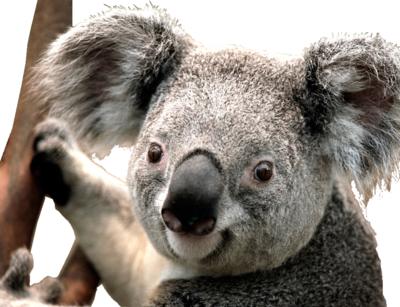 PNG images: Koala