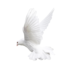 Free pigeon png images.