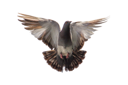 pigeon-747462_Clip