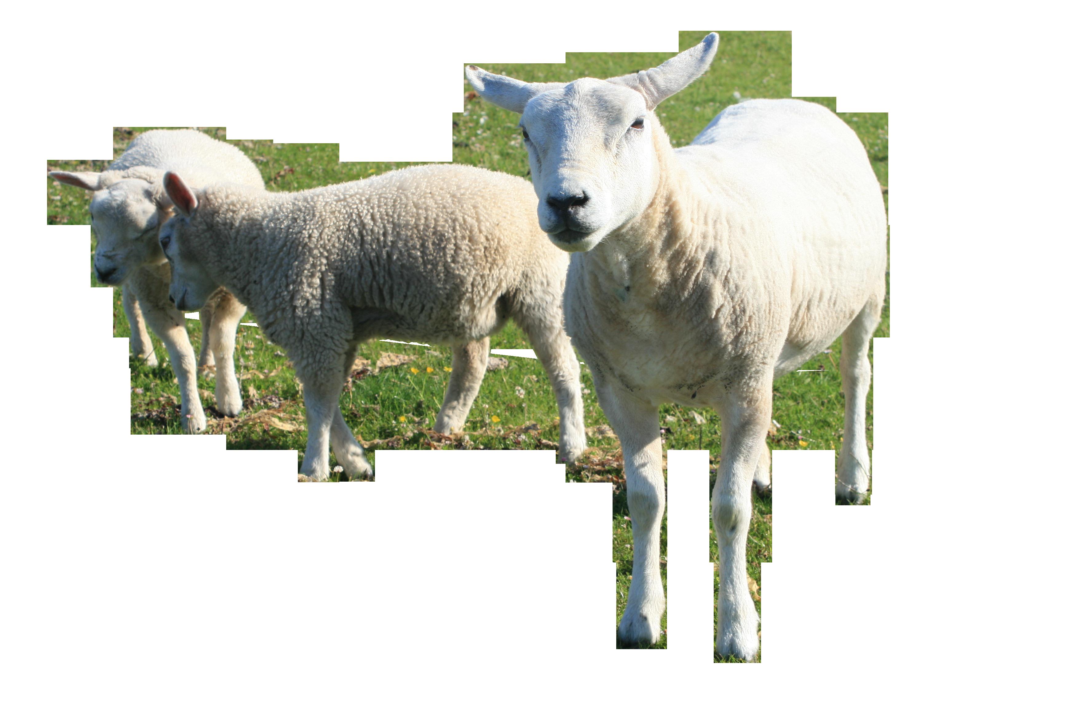 lamb-889611_Clip