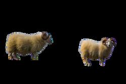 sheeps-919072 (1)_Clip