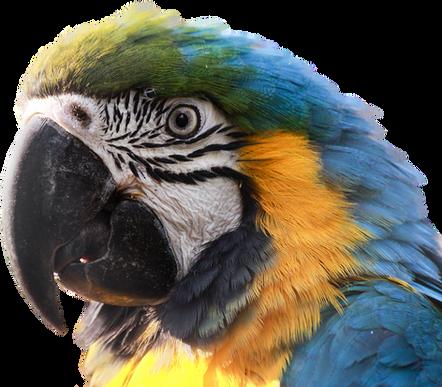 PNG images: parrot