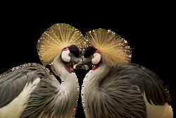 grey-crowned-crane-540657_Clip