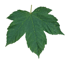 Here on FreePNGs you can browse through our complete collection of nature free PNGs. All our PNGs are free to download and use. All's we ask for is a reference to our site. Check out these green leaf PNGs