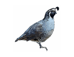 Calif_quail03