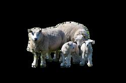 sheep-966031_Clip