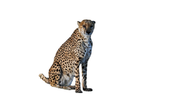 cheetah-1170149_Clip