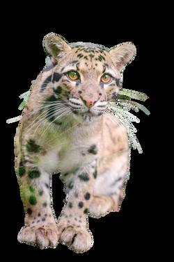 clouded-leopard-988874_Clip