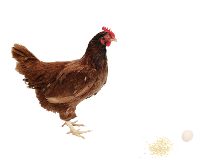 Free chicken png images.