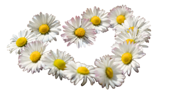 daisy-712898_Clip