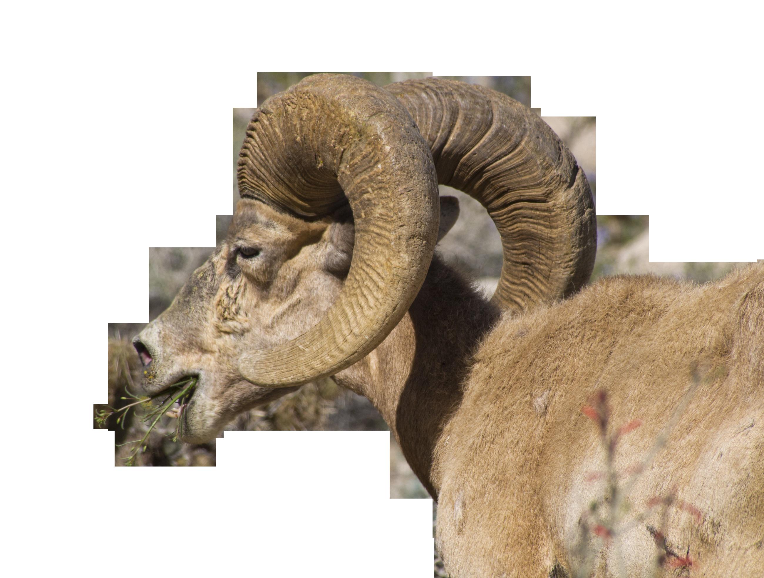 bighorn-sheep-1151834_Clip