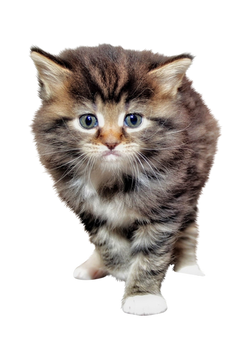 baby-cat-1168535_Clip