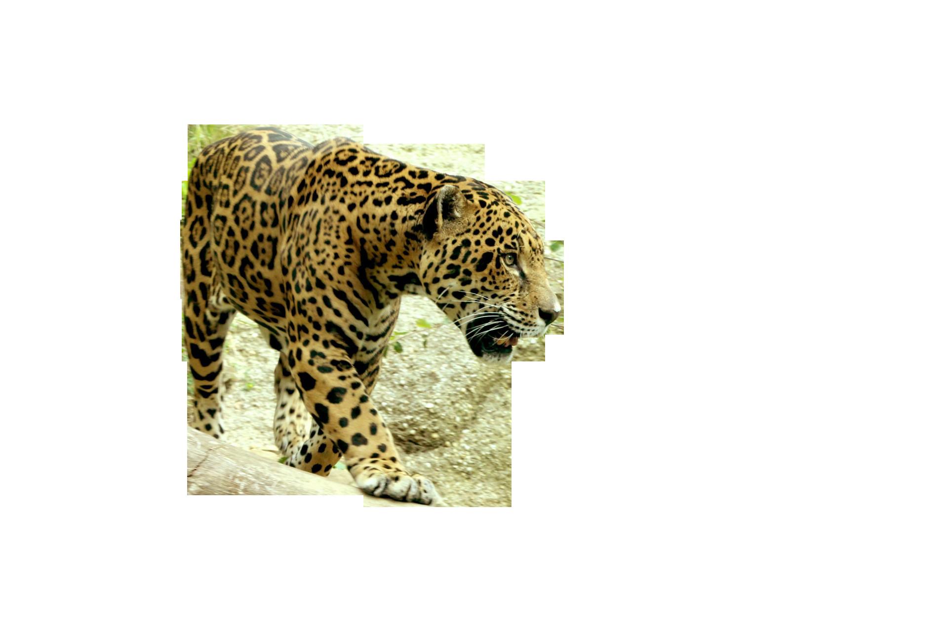 jaguar-218140_Clip