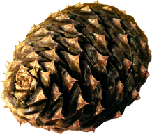 Pine-cone, free PNGs