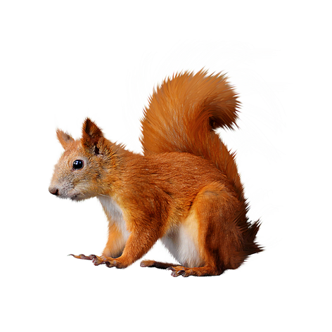 Free squirrel png images.