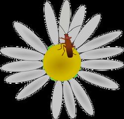 Machovka_bug_on_a_flower