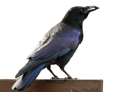 PNG images: crow