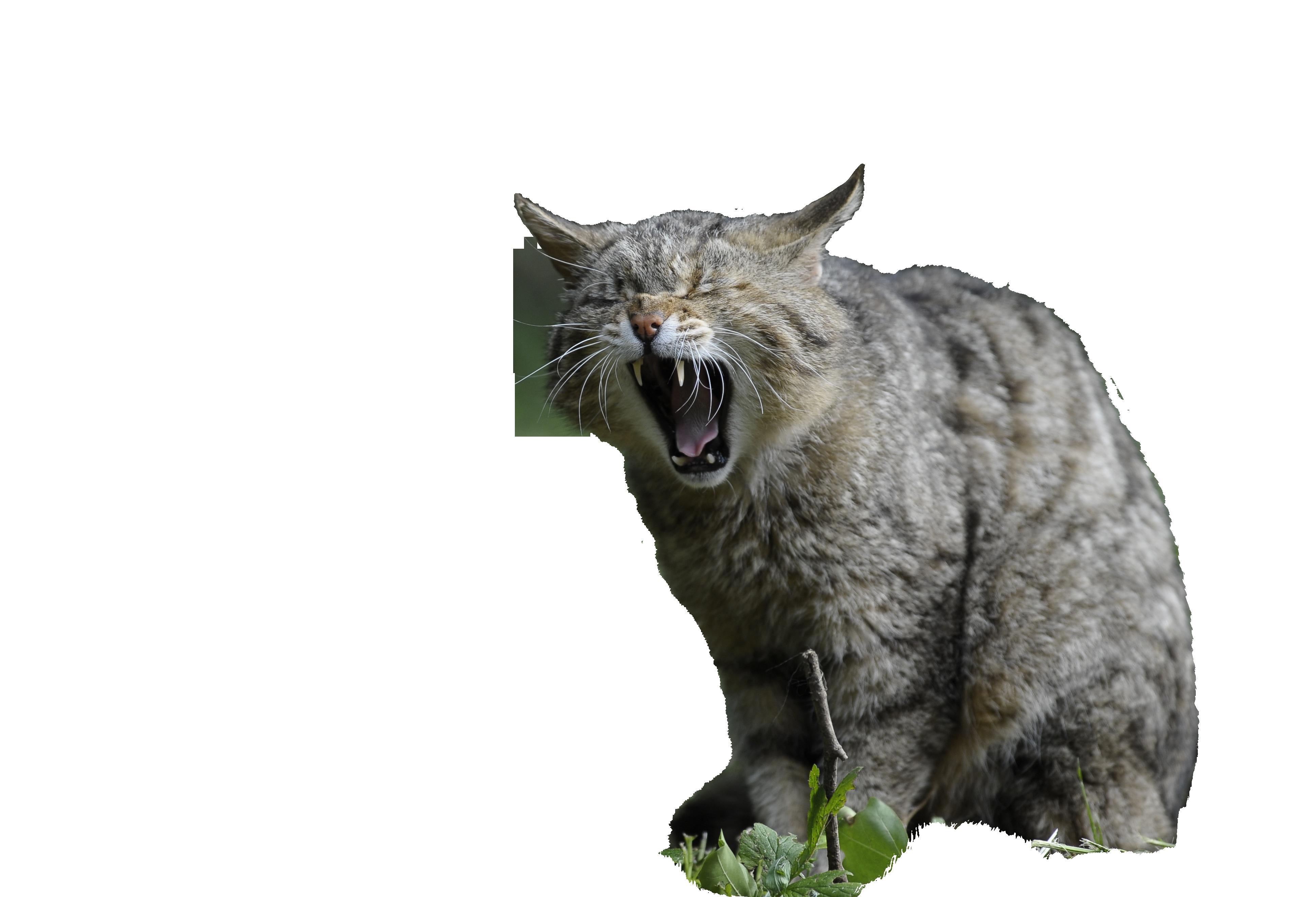 wildcat-356805_Clip