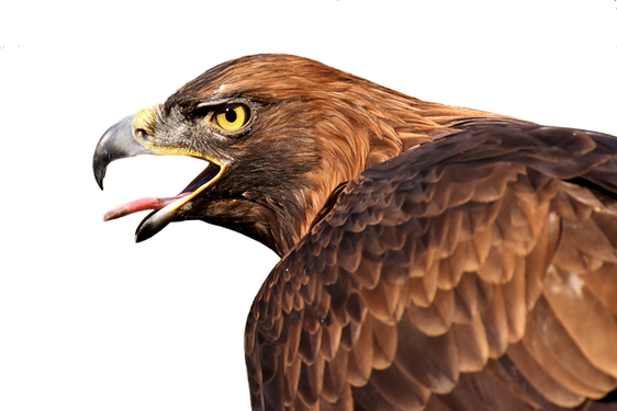 PNG images: AnimalsPNG images: eagle, flying, birds