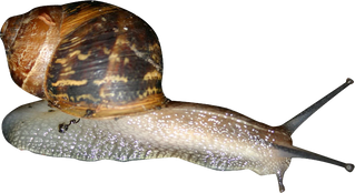 Free snail png images.