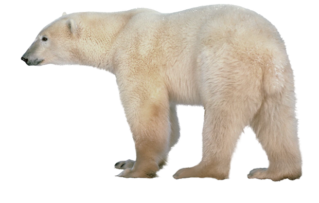 Polar bear free transparent images