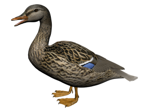 Duck Png Images Ducks are sometimes confused with several types of unrelated water birds with similar forms, such as loons or divers, grebes, gallinules, and coots. duck png images