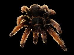 mexican-pink-tarantula-1084178_Clip