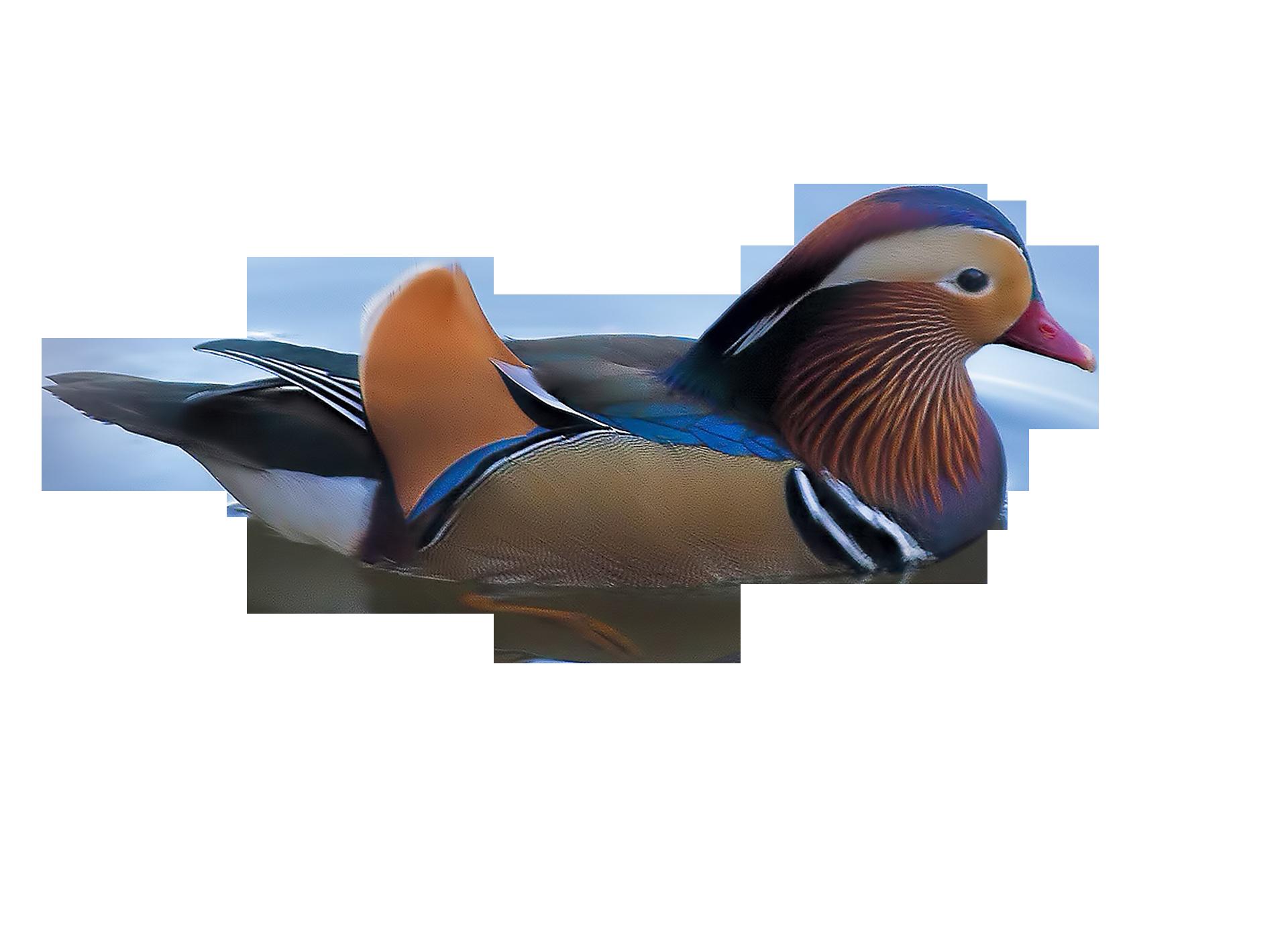 duck-1091121_Clip