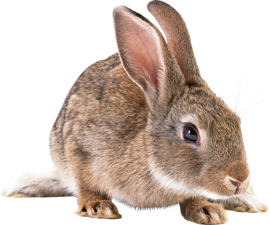 Free rabbit png images.