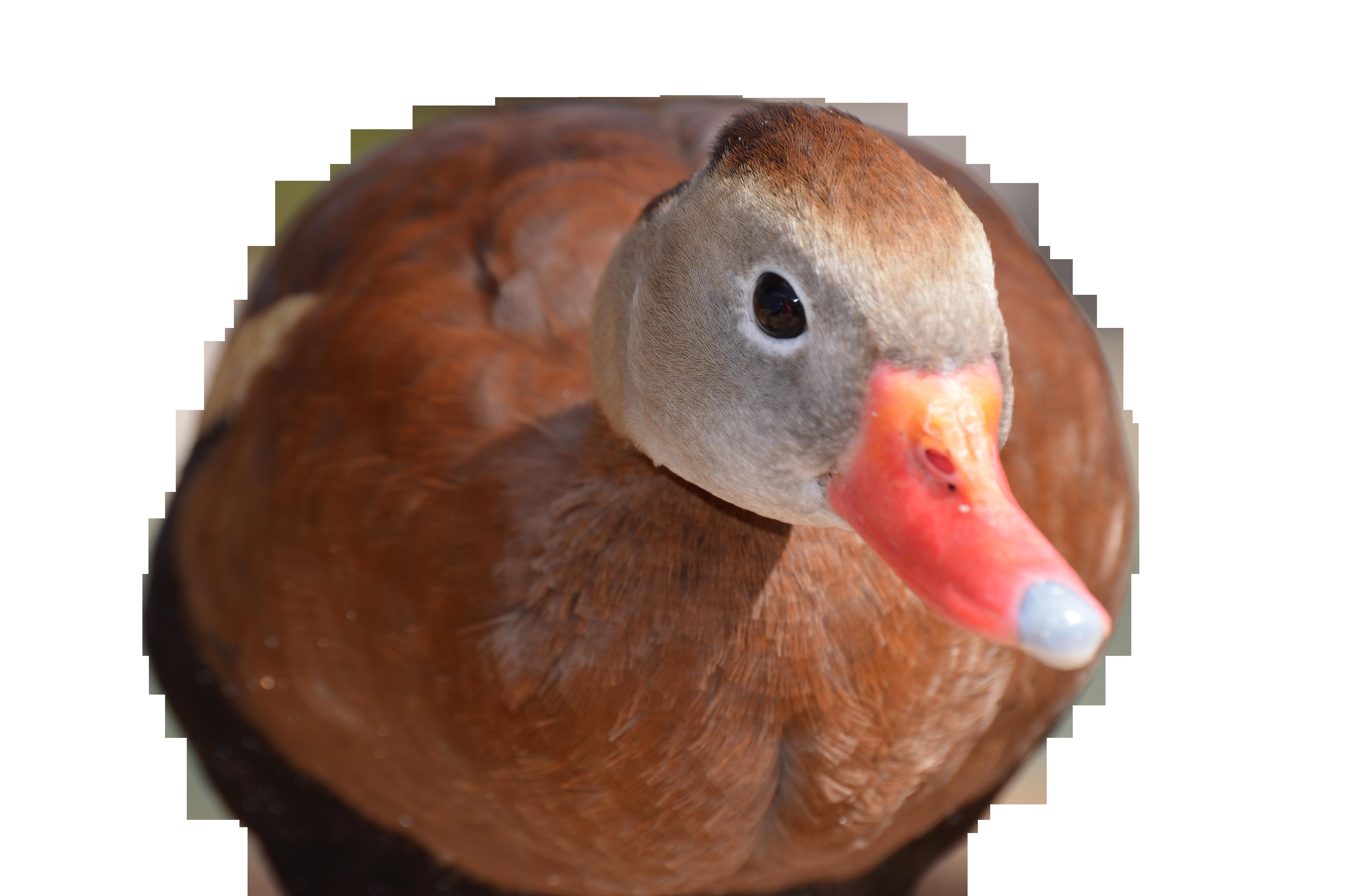 duck-634698_Clip