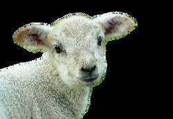 sheep-248632_Clip
