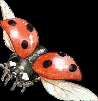 Ladybug, free PNGs