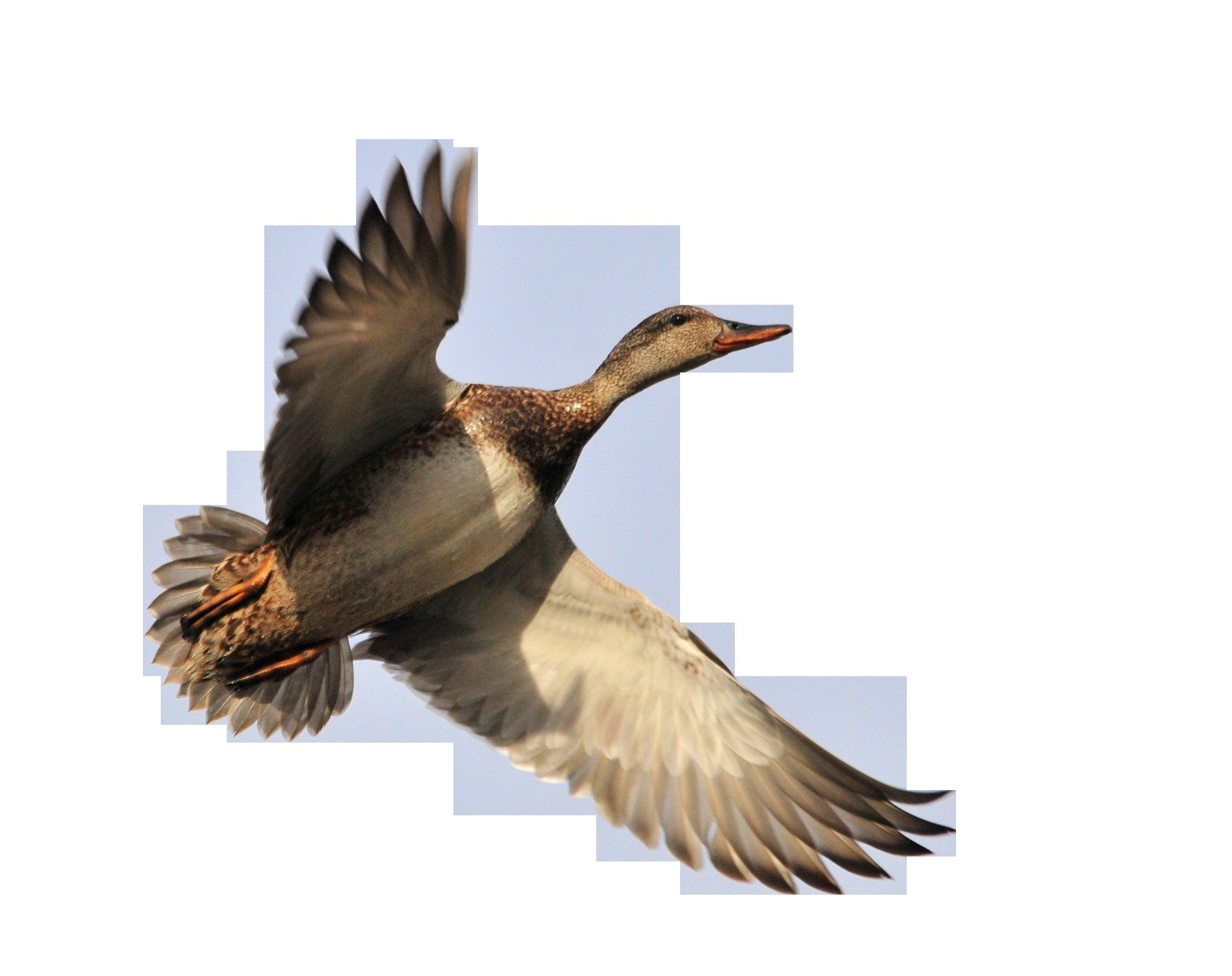 duck-935160_Clip