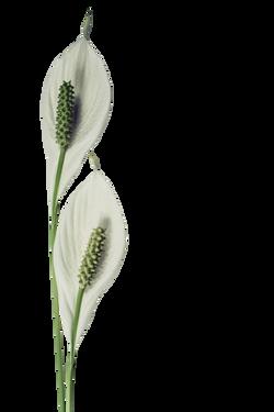 peace-lily-1150874_Clip