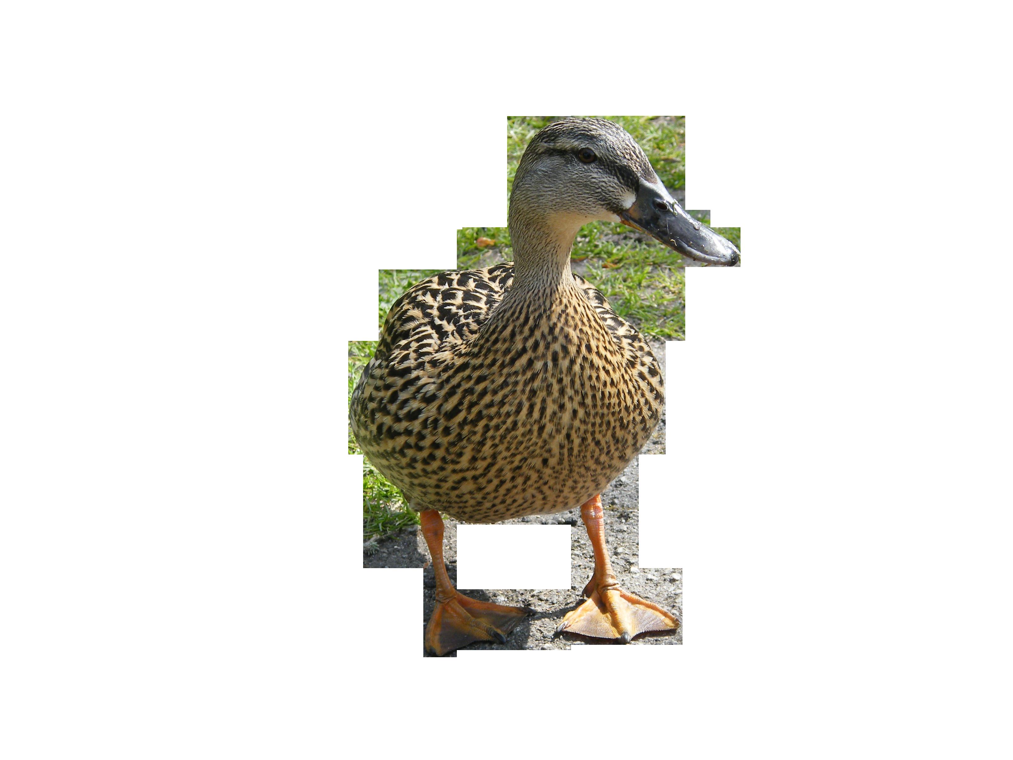 duck-905080_Clip