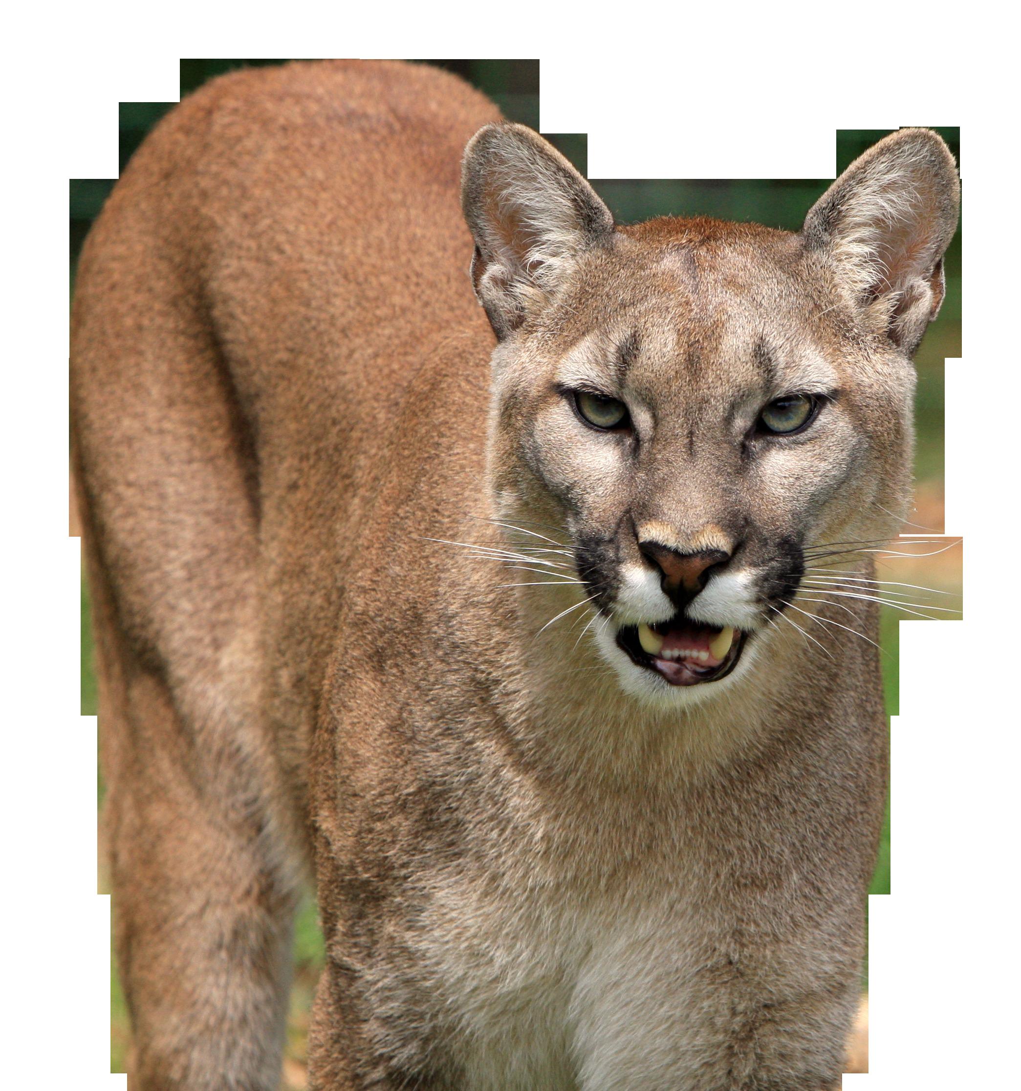 cougar-275946_Clip