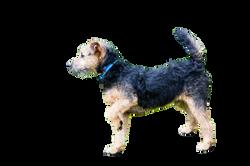 lakeland-terrier-908690_Clip