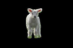 lamb-1200539_Clip