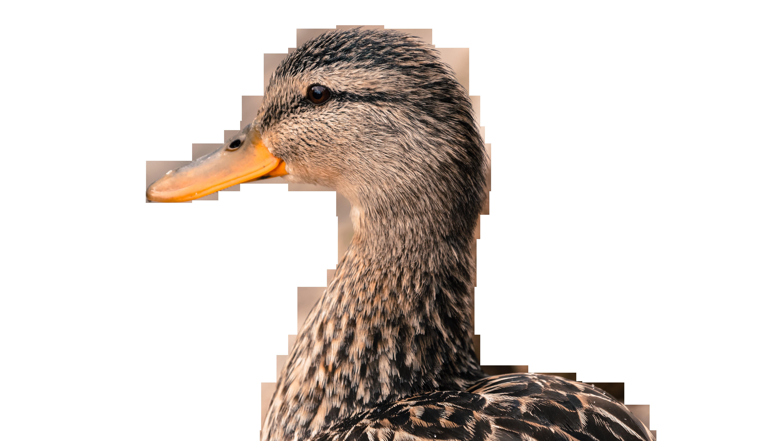 duck-783087_Clip