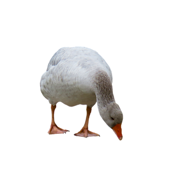 PNG images: duck