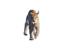 bobcat-1151874_Clip