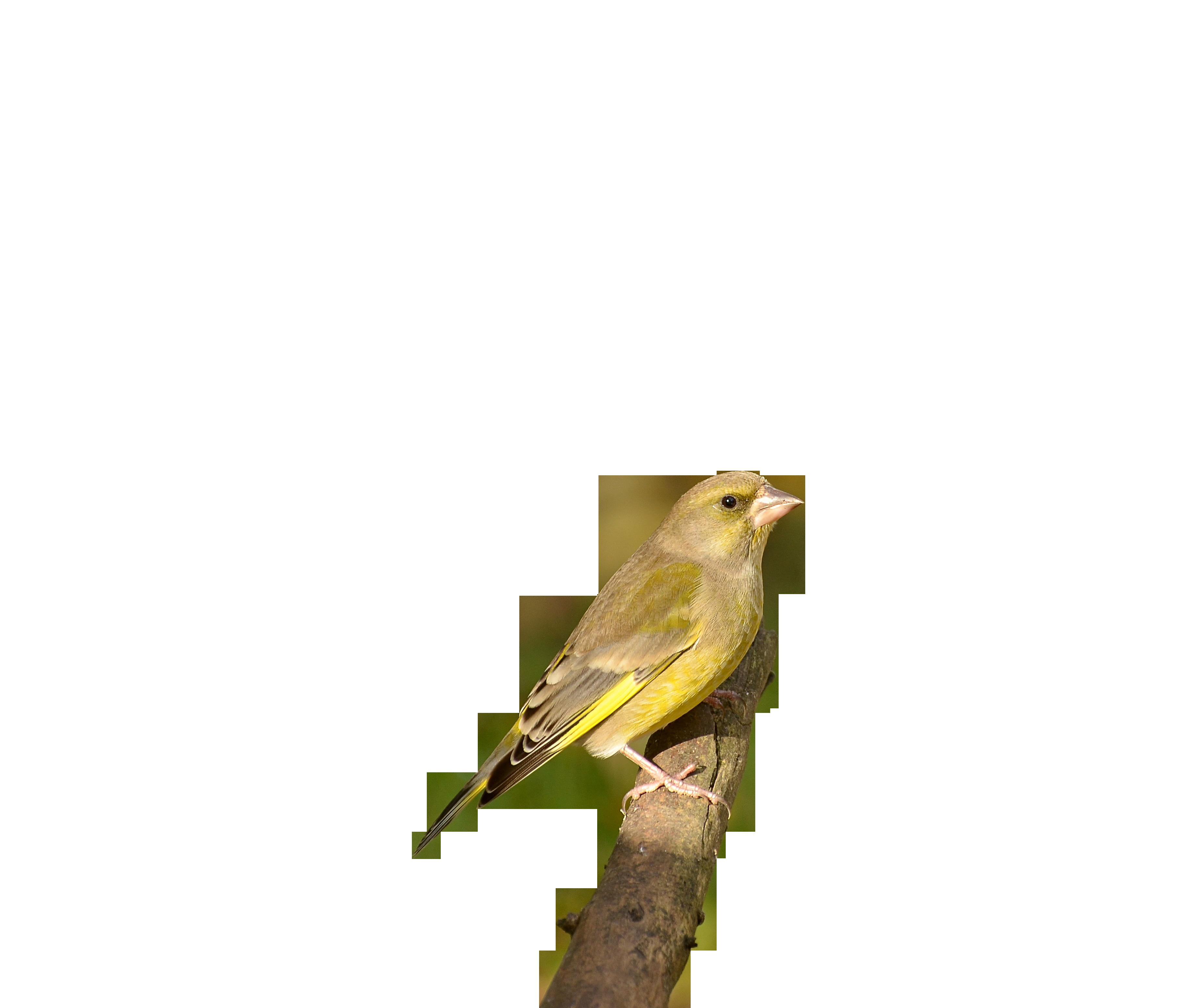 greenfinch-1154124_Clip