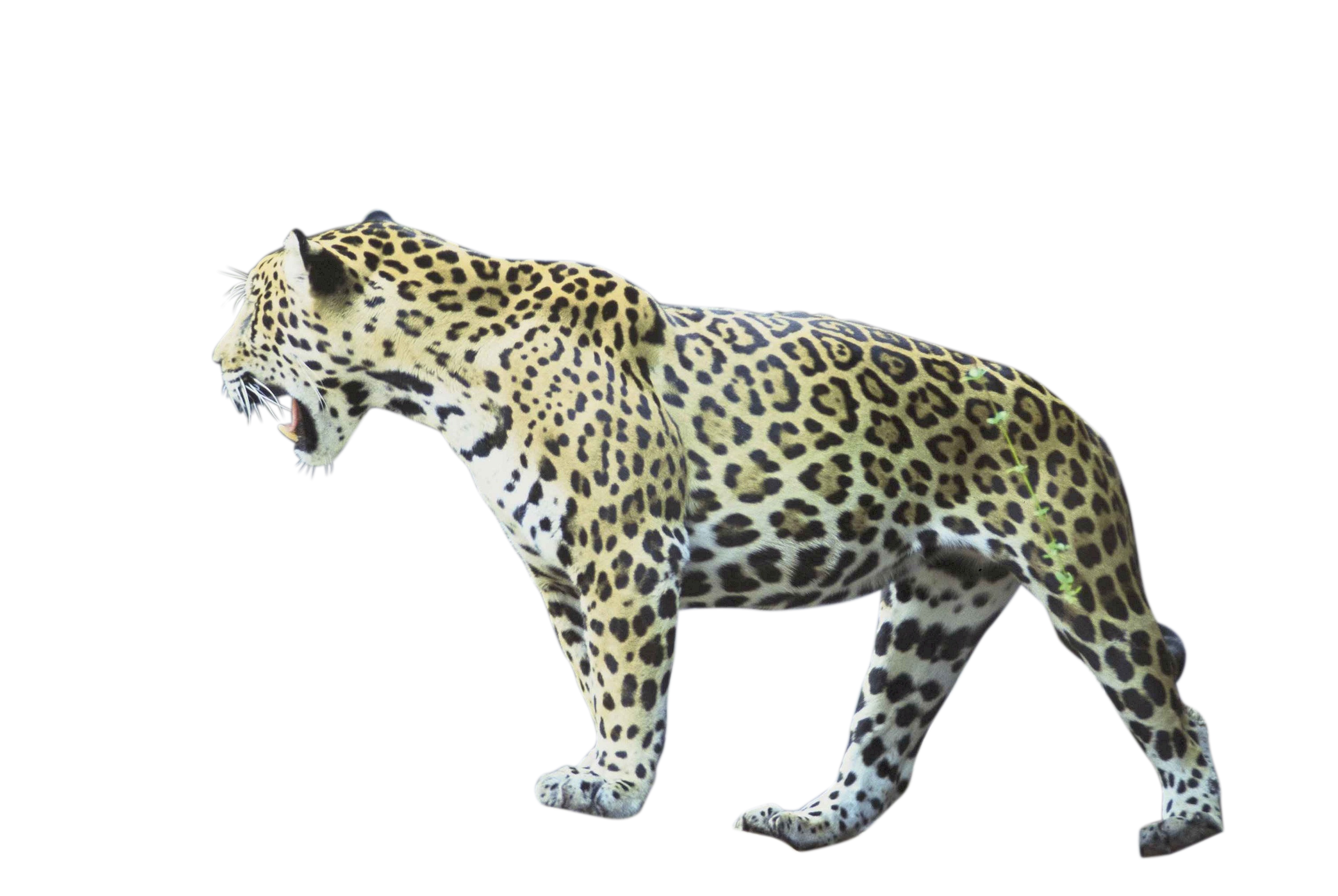 jaguar-518159_Clip