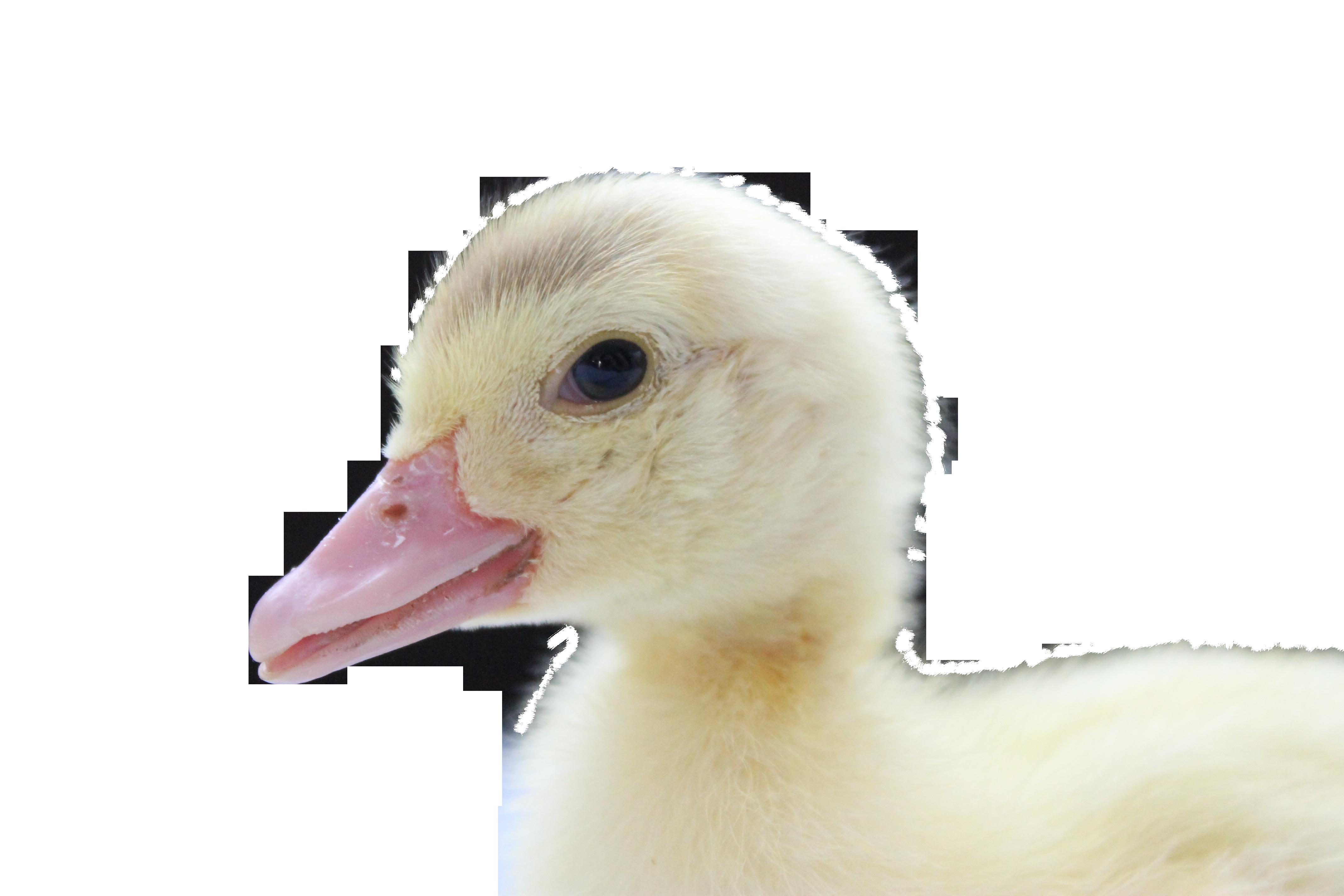 duck-793640_Clip