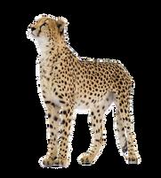 Cheetah PNG images