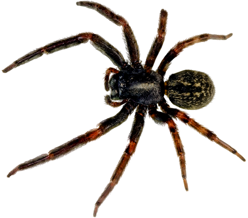 Spider free PNGs