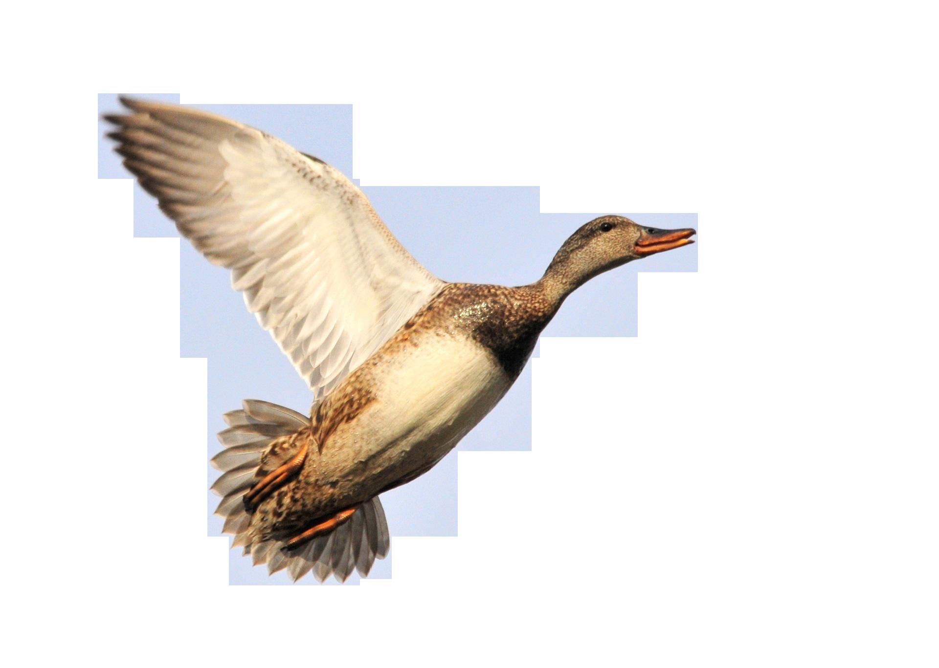 duck-931150_Clip